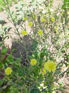 Lettuce Flowers at Wild Garden Seed