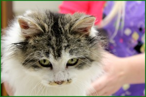 picture of a very pretty cat at osseo vet in osseo wisconsin