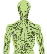 Drawing of Lymphatic System