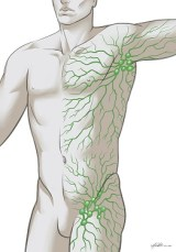 lymphatic system drawing body
