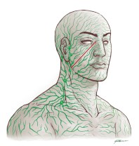 Lymphatic System in Head