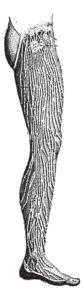 Lymphatic Vessels of the Leg, vintage engraved illustration.