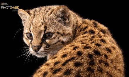 Joel Sartore fotografía la especie número 10.000 en Photo ARK de Nat Geo y registra audio poco frecuente de la especie