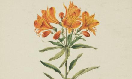 BOCHO & DANILO DAWSON «AMIGO «Alstroemeria Aurantiaca»