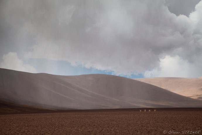 Vicuna under the storm