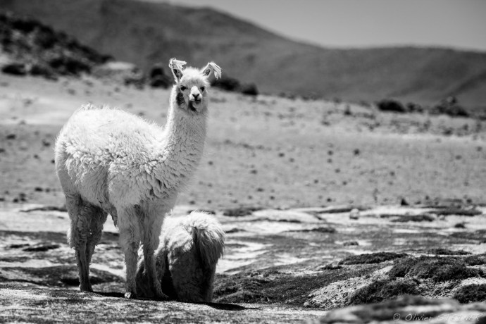 Lama near the Laguna Colorado, South Lopez