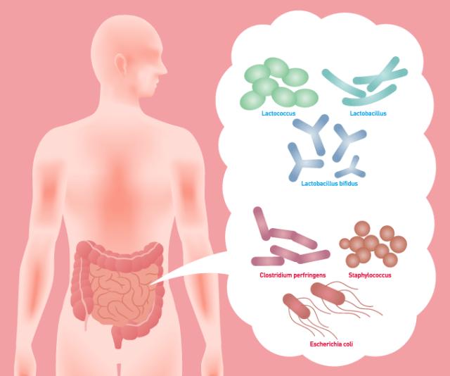 Flora batterica e disbiosi intestinale