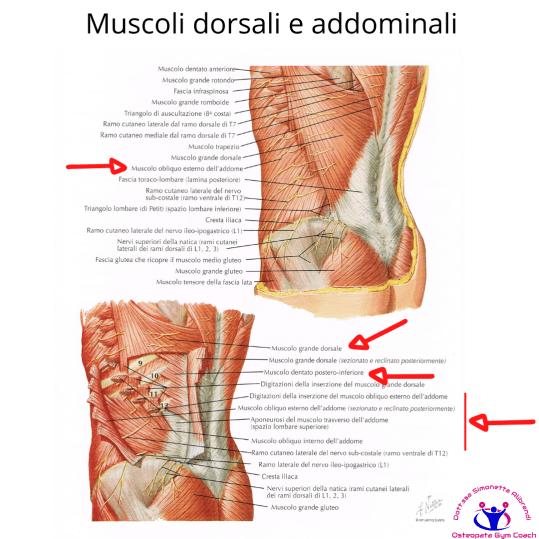 simonetta alibrandi osteopata posturologo roma mal di schiena ernia protrusione postura corretta colonna vertebrale lombosciatalgie I muscoli  dorsali e addominali del tronco