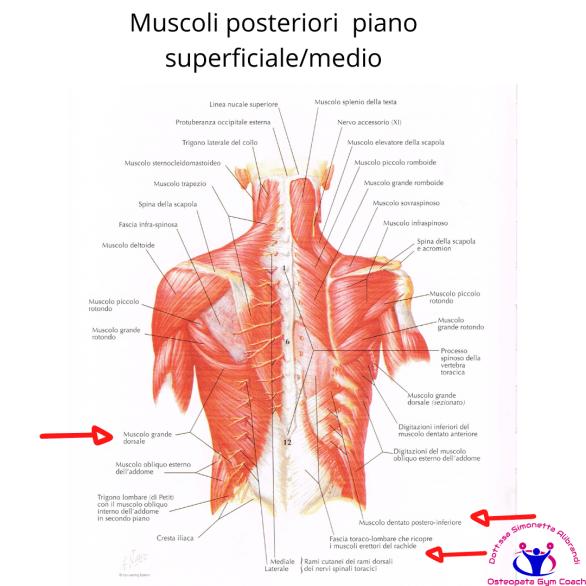 simonetta alibrandi osteopata posturologo roma mal di schiena ernia protrusione postura corretta colonna vertebrale lombosciatalgie I muscoli posteriori del tronco