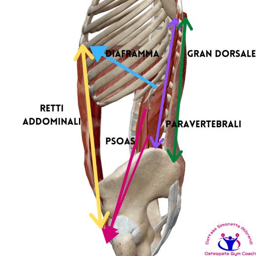 simonetta-alibrandi-osteopata-posturologo-personal-trainer-lordosi-lombare-relazioni-diaframma-psoas-paravertebrali-e-addominali.