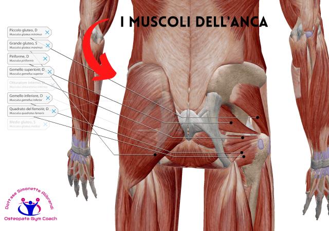 simonetta-alibrandi-osteopata-posturologo-personal-trainer-dolore-allanca-i-muscoli-dellanca-posteriori