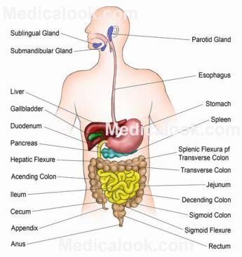 systeme digestif humain