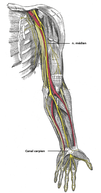 nerf médian ostéopathe lille
