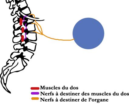 ostéopathe lomme douleur ventre