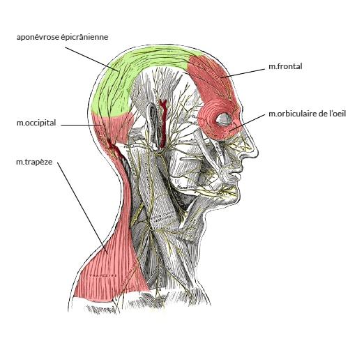 muscles et nerfs de la tête