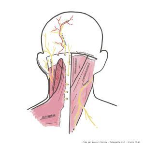 schéma des muscles cervicaux - impact sur les migraines