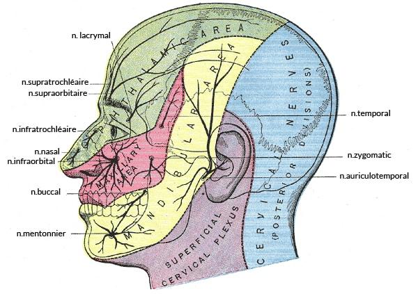 Zone de sensibilité du crâne