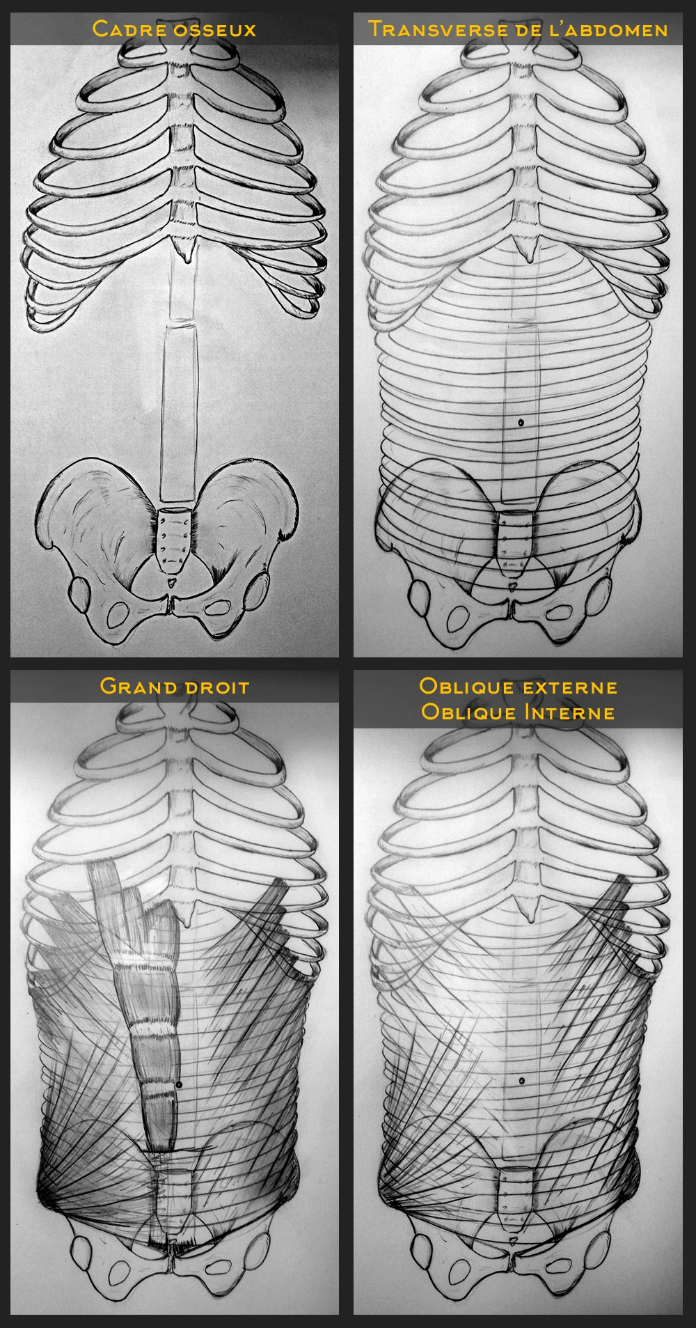 Dessin des différentes couches d'abdominaux (transverse, obliques et grand droit). Le transverse est ce lui qui permet un bon maintien viscéral contre la colonne, tel que décrit selon la méthode des abdominaux de Gasquet.