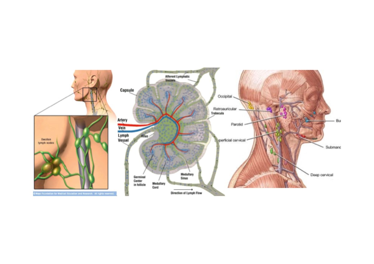 20 Lymphatic System Word Search Pictures And Ideas On Meta Networks