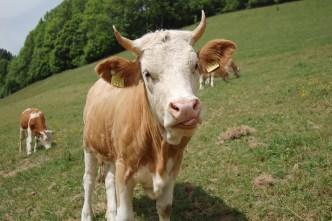 Ko i Schweiz