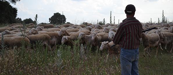Spansk fårehyrde