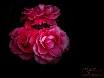 Wild Roses in the Rain