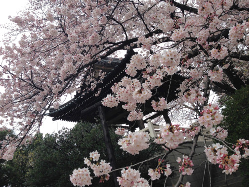 福蔵院の桜