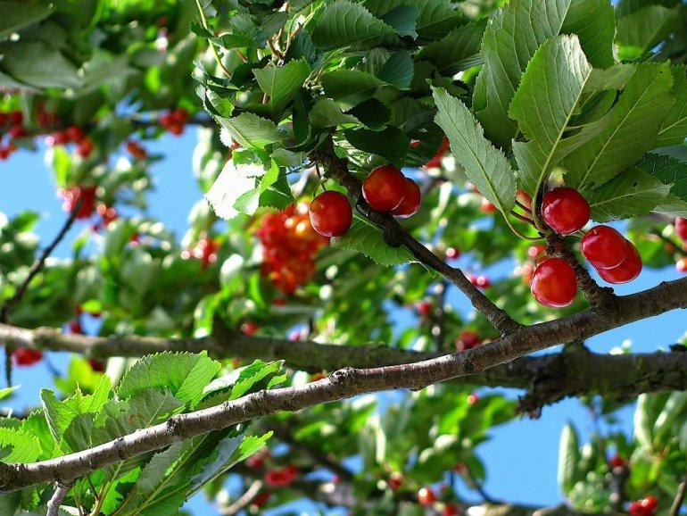 cherries on branch of cherry tree