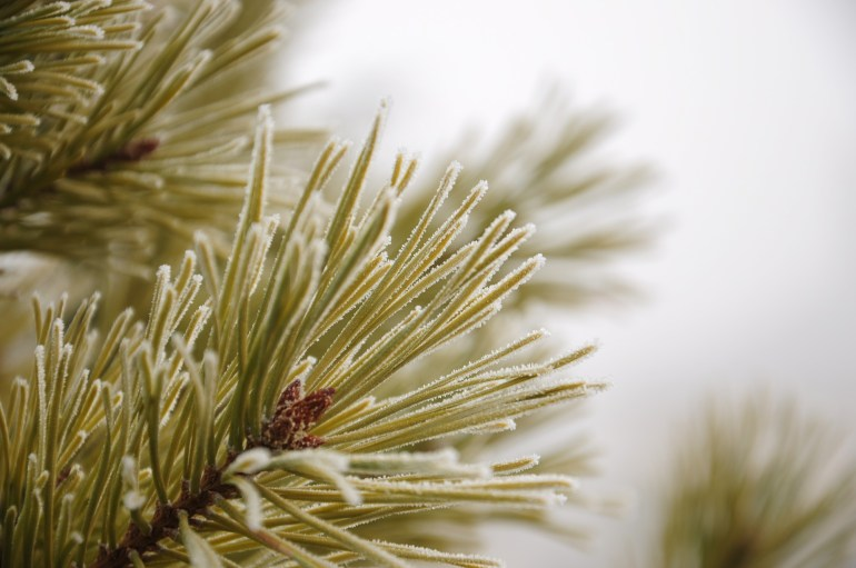 Pine needles with a light frost.