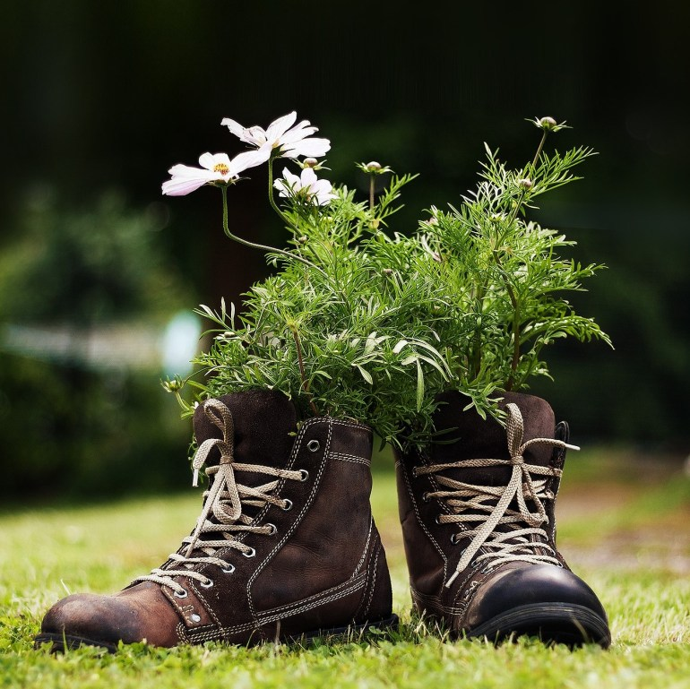 Brown leather boots sitting on lawn, planted with white daisy plants.