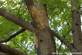 Honey locust tree with bark peeled away by squirrels.