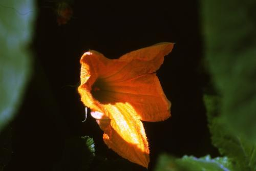 Squash blossom with sun shining on the blossoms.