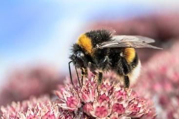 Bumblebee on sedum.