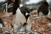 A Gentoo parent and a chick who is about a week old