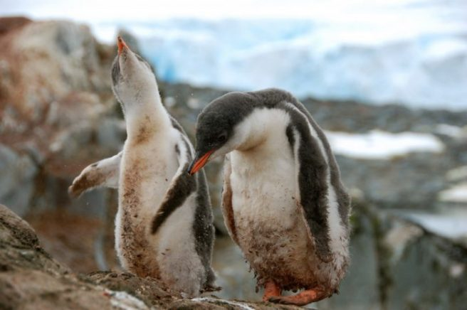 Two Gentoo chicks shake it off