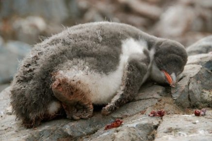 After a while the Gentoo chicks started exploring napping rocks beyond their nests