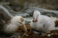 A giant petrel feeding its chick (if you look closely maybe you can identify the bird that's for dinner)