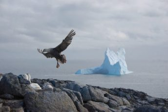 A southen giant petrel comes in for a landing, a difficult feat for a bird with a wingspan greater than 6 ft