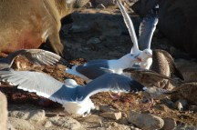 Gulls fight over a fresh placenta after an elephant seal birth on Southeast Farallon Island