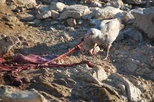 A juvenile gull on Southeast Farallon Island enjoys a fresh placenta after an elephant seal birth