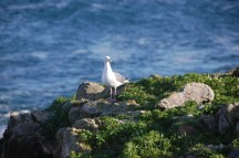 A western gull at a different field site on Southeast Farallon Island, CA