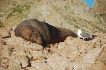A gull seizing an opportunity for a meal on Southeast Farallon Island, CA
