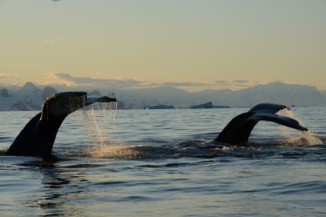 Two humpbacks diving at sunrise (Photo: D. Nowacek)