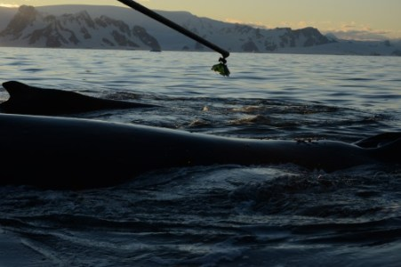 Ari deploying a suction cup tag on a humpback whale (Photo: D. Nowacek)