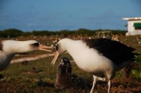 A Laysan albatross pair with their chick