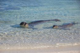 The endangered Hawaiian monk seal