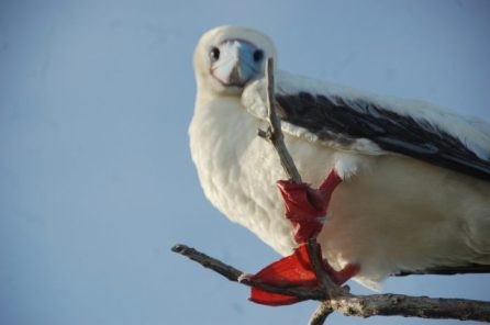 A red-footed booby on Kure atoll