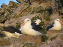 Black-browed albatrosses sitting on their nests. Photo (c) Rachael Orben