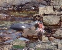 A juvenile southern sea lion bringing an octopus ashore on Kidney Island, Falkland Islands. Photo: R. Orben 2018