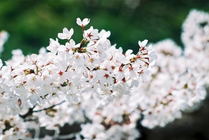 桜のお花見の意味や由来は?簡単に子供に伝えるには?